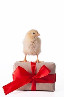 リボン付きギフトボックスの横で遊ぶ小さなかわいい鶏