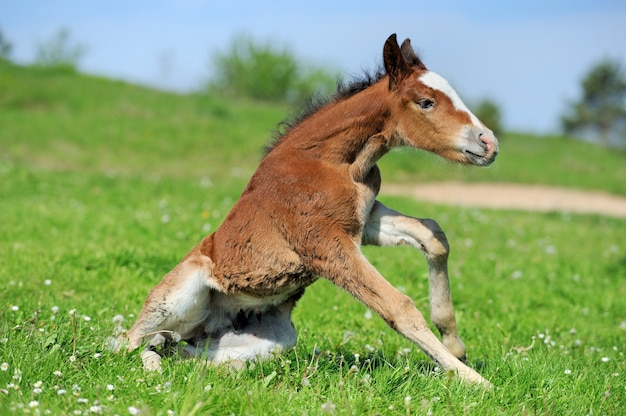 春の牧草地で小さなかわいいコルトウォーク