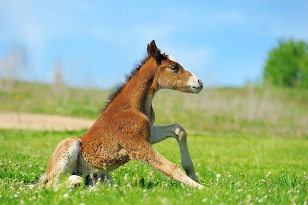 Little cute colt walk on spring pasture