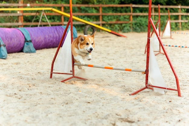 Little cute corgi dog performing during the show in competition. pet sport. young animal training before performing. looks happy and purposeful.
