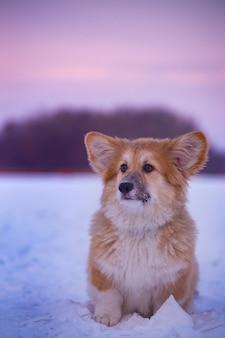 일몰 시간에 겨울 날 야외 클로즈업 초상화에 있는 작고 귀여운 코기 푹신한 강아지
