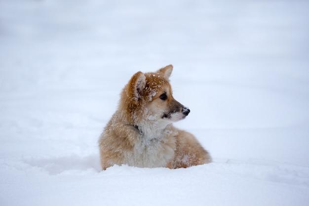 야외 클로즈업 초상화에 있는 작고 귀여운 코기 푹신한 강아지