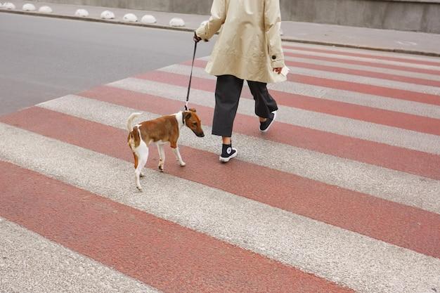 Piccolo simpatico cane di razza jack russell terrier al guinzaglio che attraversa le strisce pedonali con il suo proprietario