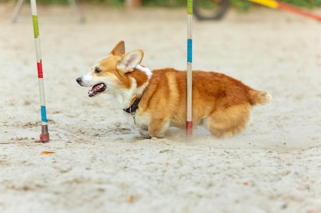경쟁에서 쇼 중 공연하는 작은 귀여운 강아지