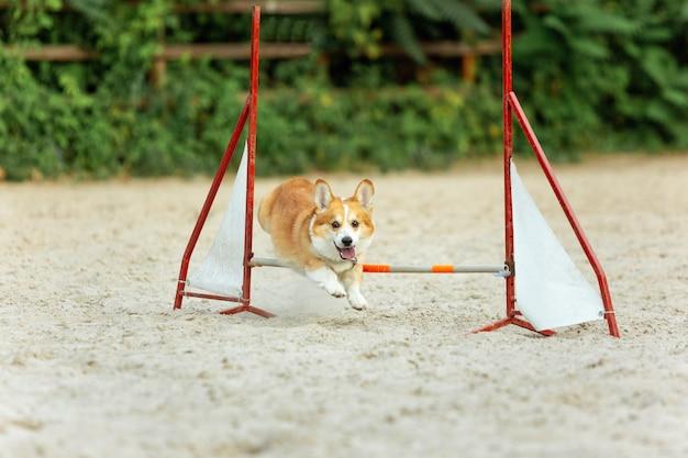 競争のショーの間に実行している小さなかわいい犬