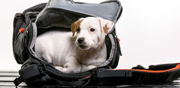 Маленькая милая собака сидит в черной сумке и с нетерпением ждет - джек рассел терьер