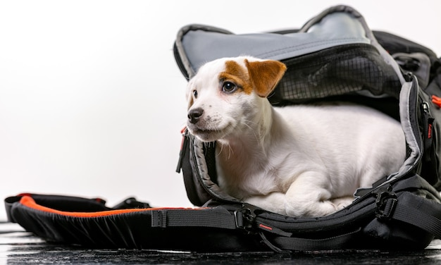 Маленькая милая собачка сидит в черной сумке и с нетерпением ждет - джек рассел терьер