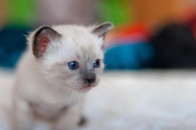 コピースペースと青い目をした小さなかわいいふわふわの光シャムタイの子猫