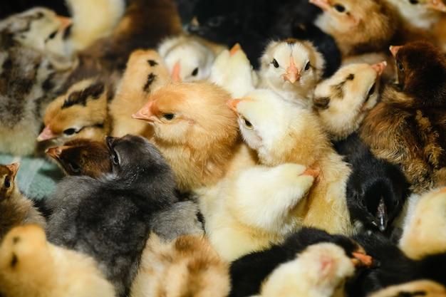 작은 부리가 있는 농장에서 작고 귀여운 솜털 노란색과 검은색 갓 태어난 암탉이 서로를 따뜻하게 합니다.