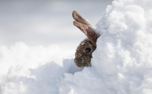 雪の上の小さなかわいい灰色のうさぎ