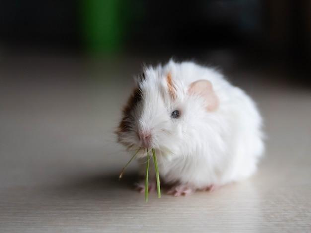 Little cute guinea pig eats grass
