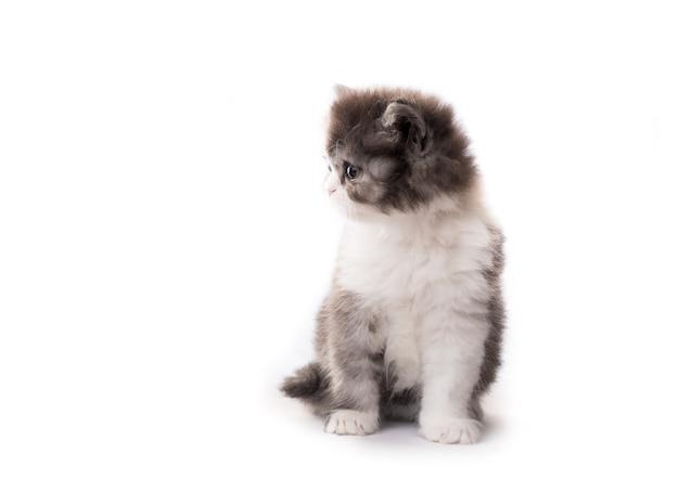 Little cute kitten isolated on white background