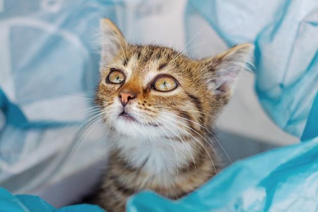 セロハンバッグに好奇心旺盛な表情の小さなかわいい子猫