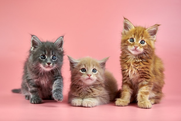 Little cute maine coon kittens on pink background