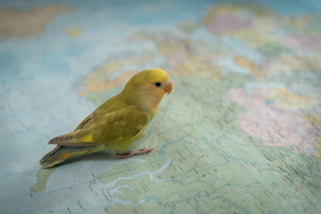 Little cute pet bird searching on map for travel