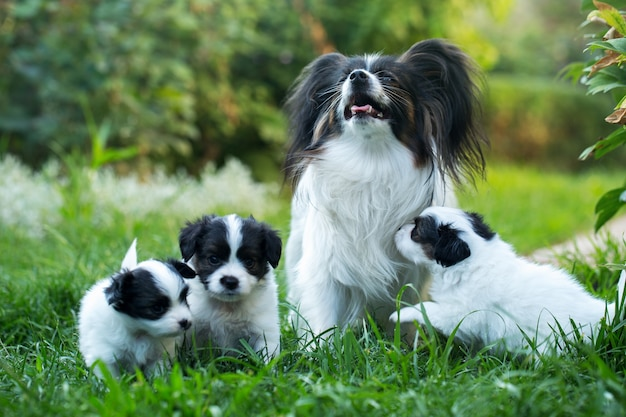 Little cute puppies papillon on green grass