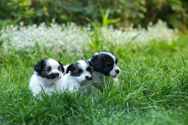 푸른 잔디에 작은 귀여운 강아지 빠삐용