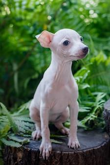 Маленький милый щенок (американский голый терьер) сидит на фоне зеленых листьев