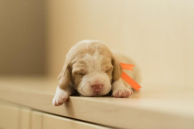 Маленький милый щенок собака бигль светлый