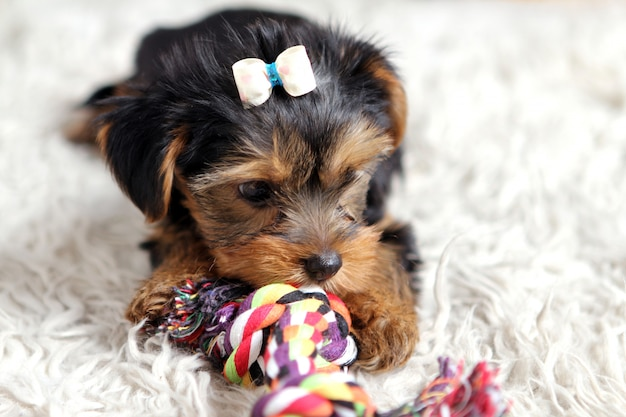 Little cute puppy at home