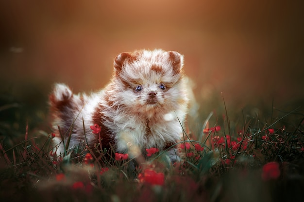 Little cute puppy of pomeranian color merle on the lawn