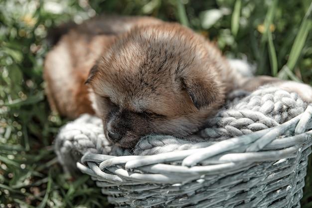 Little cute puppy sleeps in a basket among the grass outside.