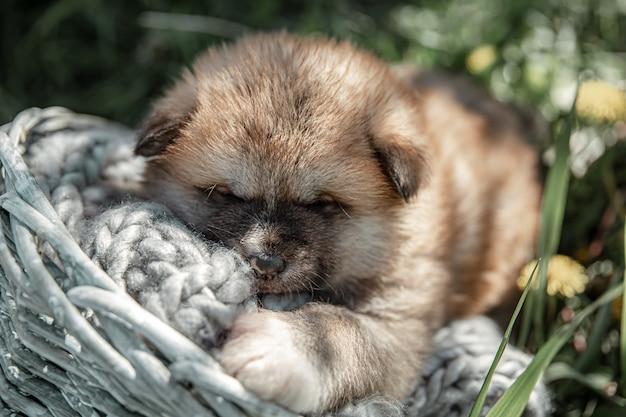 小さなかわいい子犬は、外の草の間でバスケットで眠ります