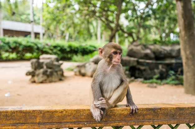 Little cute red face monkey rhesus macaque in tropical nature park of hainan, china. cheeky monkey in the natural forest area. wildlife scene with danger animal. macaca mulatta copyspace