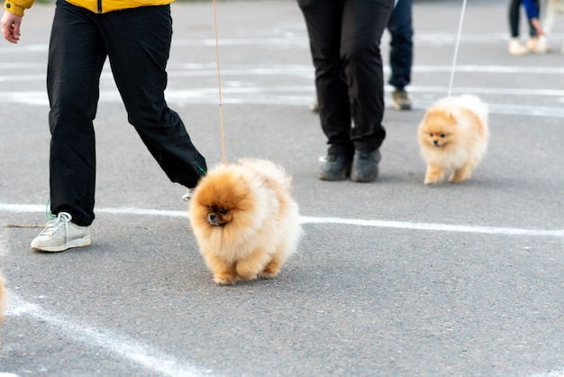 Little cute spitz, on a leash. high quality photo