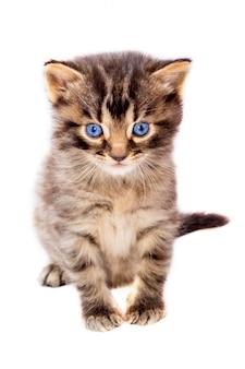 격리 된 흰색 배경에 파란 눈을 가진 작은 귀여운 줄무늬 고양이