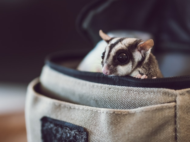 Little cute sugar glider is peaking from small bag.