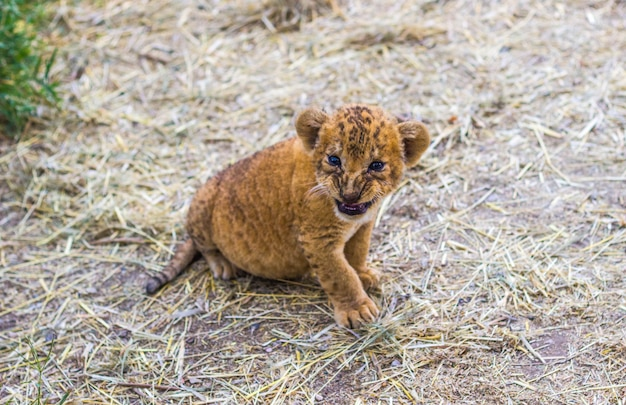 Little cute tiger cub