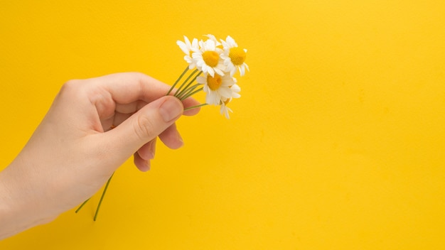 Маленькая маргаритка в женской руке на желтом