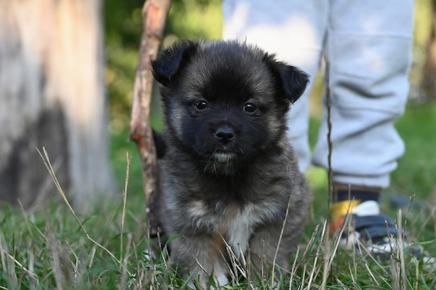 芝生の上を歩いている小さな暗い子犬。