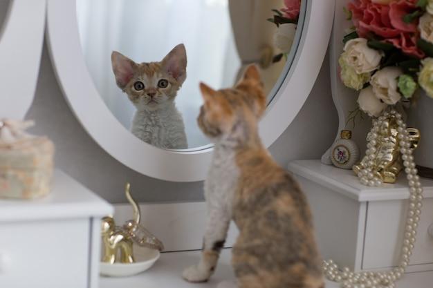小さなデボンレックスの子猫は鏡で自分自身を見ています