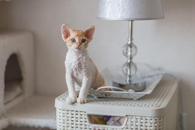 小さなデボンレックスの子猫が自宅の家具に座っています