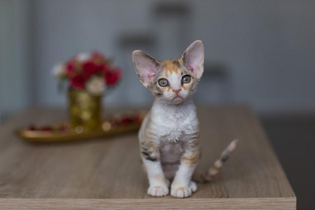 テーブルの上に座っている小さなデボンレックスの子猫