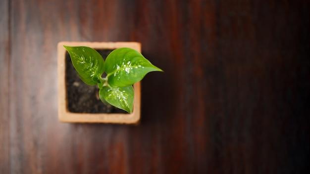 ポットで美しく成長する小さなディフェンバキア。上面写真。フラットレイ