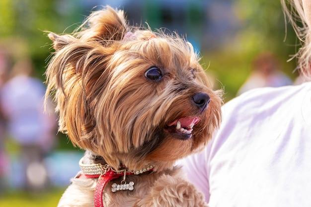 天気の良い日に公園で女性の腕の中で小さな犬の品種ヨークシャーテリア