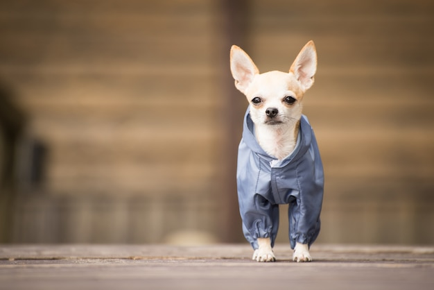 Little dog in clothes for a walk.