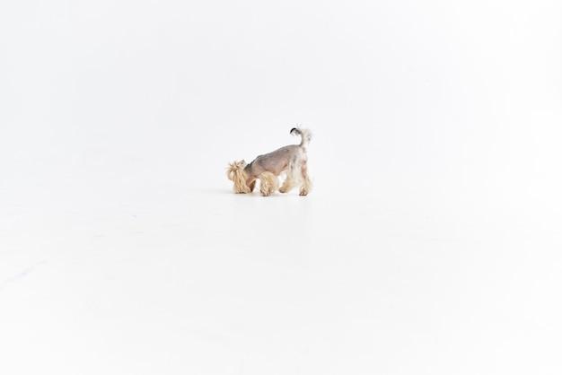 小さな犬の国内グルーミング孤立した背景