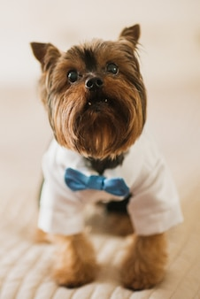 Little dog dressed in white skirt and blue bow tie