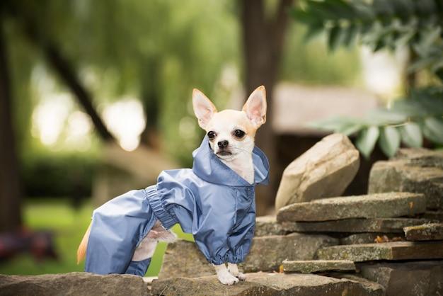 Маленькая собака в одежде на прогулку