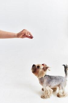 人間の明るい背景の小さな犬の哺乳類の友人。高品質の写真