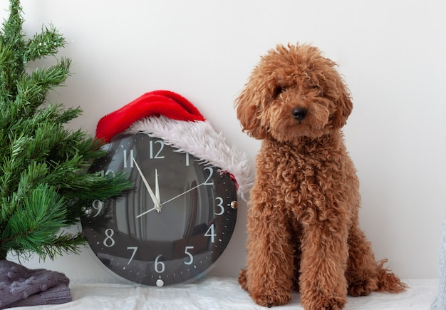 Little dog miniature poodle red brown next to the clock in santa claus hat