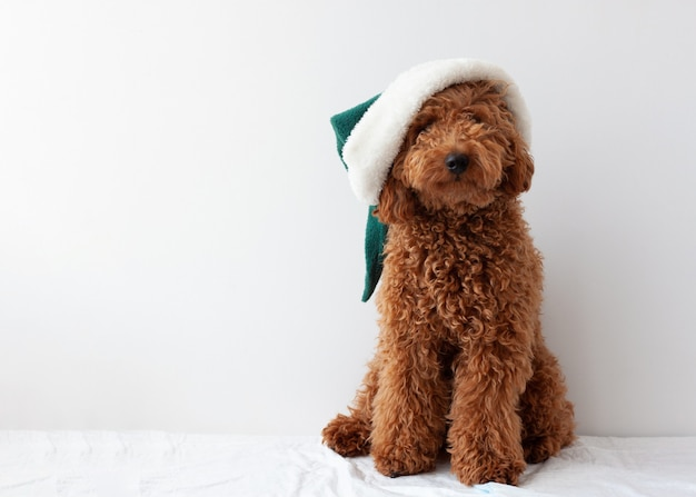 Little dog miniature poodle red brown in an elf hat