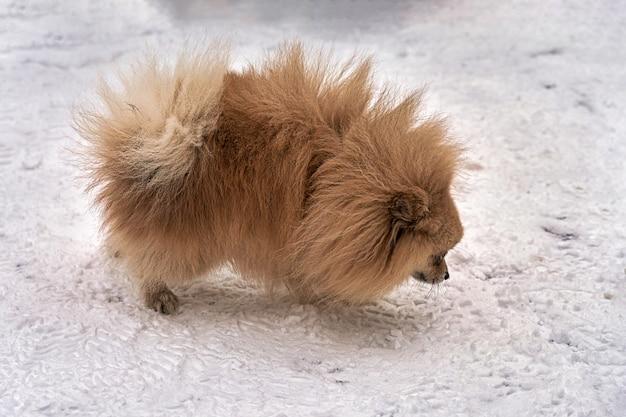 スピッツ犬種の小さな犬が雪の中を歩く