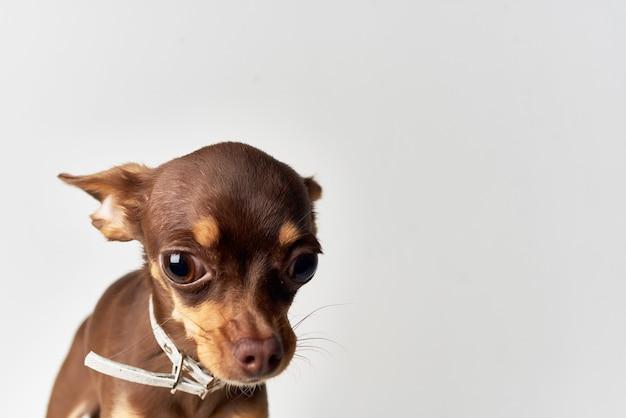 Маленькая собака позирует в студии светлом фоне