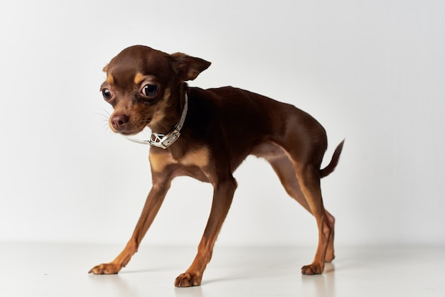 小さな犬のポーズスタジオ明るい背景
