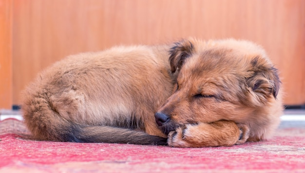The little dog sleeps on the carpet in the room under the owner's door